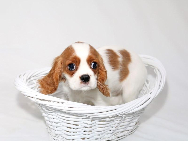 Cavalier King Charles Spaniel-Male-Blenheim-2510606-My Next Puppy