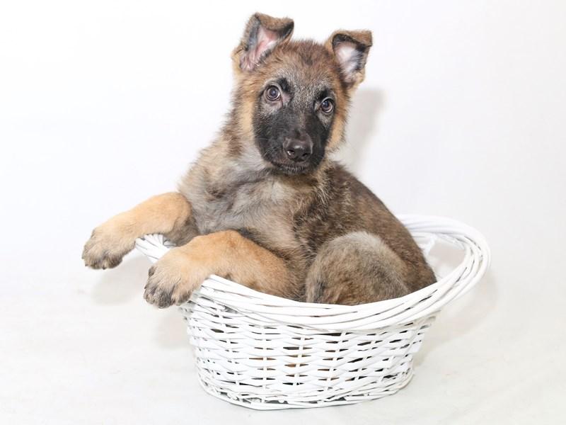 German Shepherd Dog – Cooper