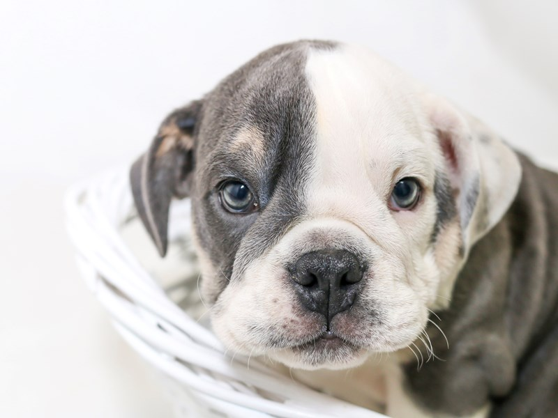 English Bulldog-Male-Blue White / Tan-2510627-My Next Puppy