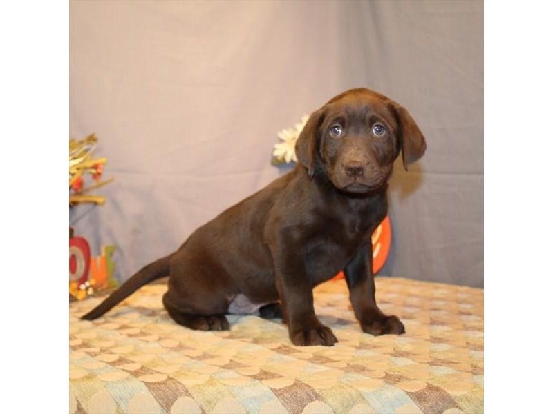 Labrador Retriever – Seamus