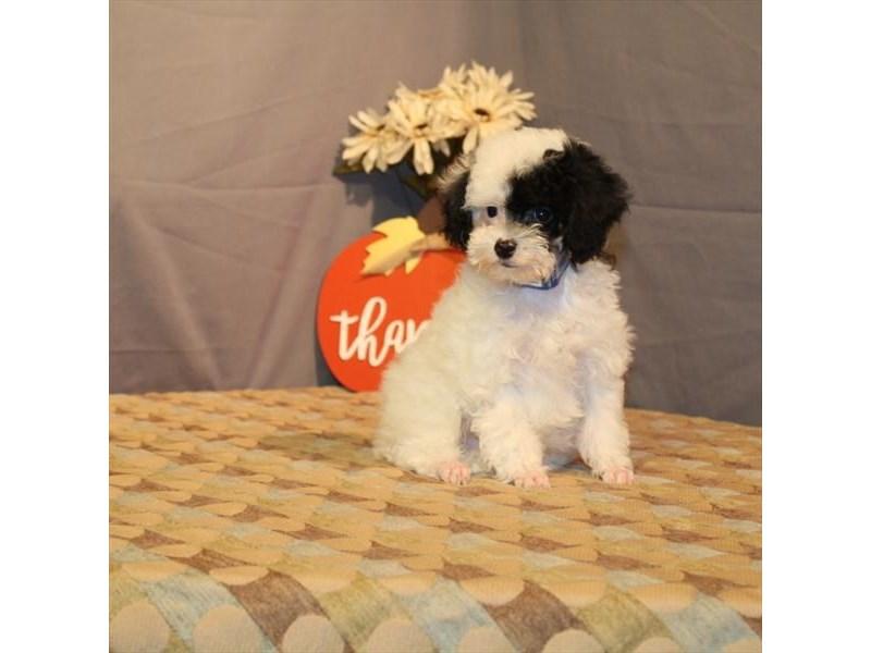 Miniature Poodle-Male-White / Black-2519876-My Next Puppy
