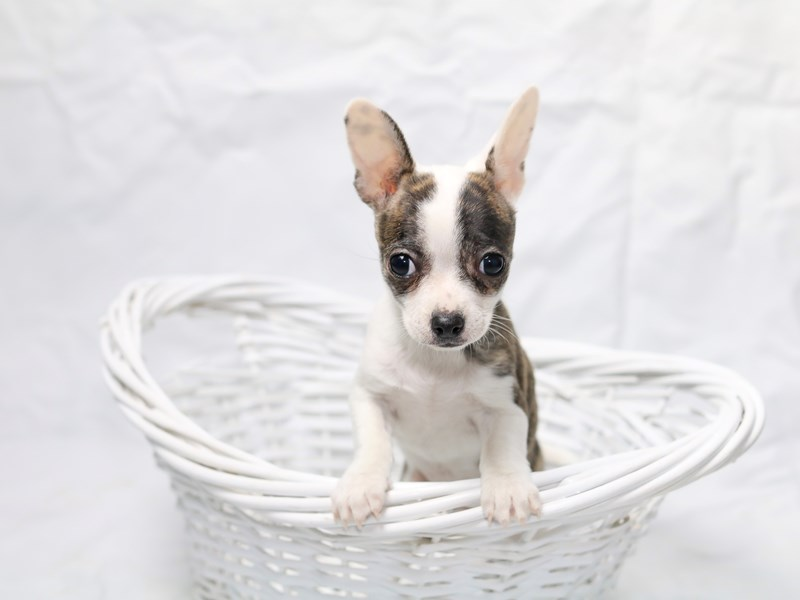 Chihuahua-Female-White/Brd-2520897-My Next Puppy