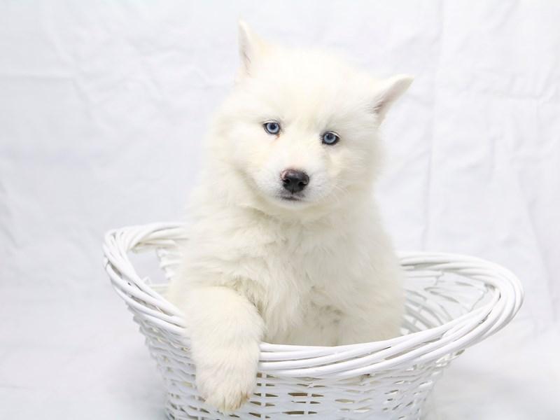 Siberian Husky – Sasha