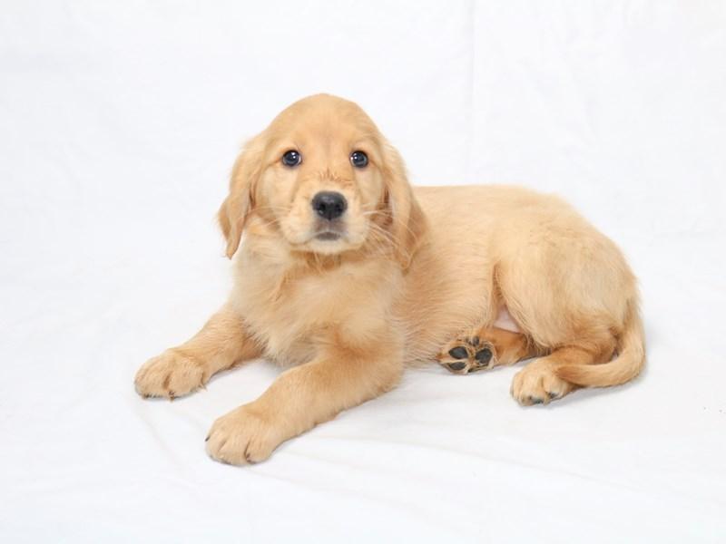 Golden Retriever-Female-Dark Golden-2519825-My Next Puppy