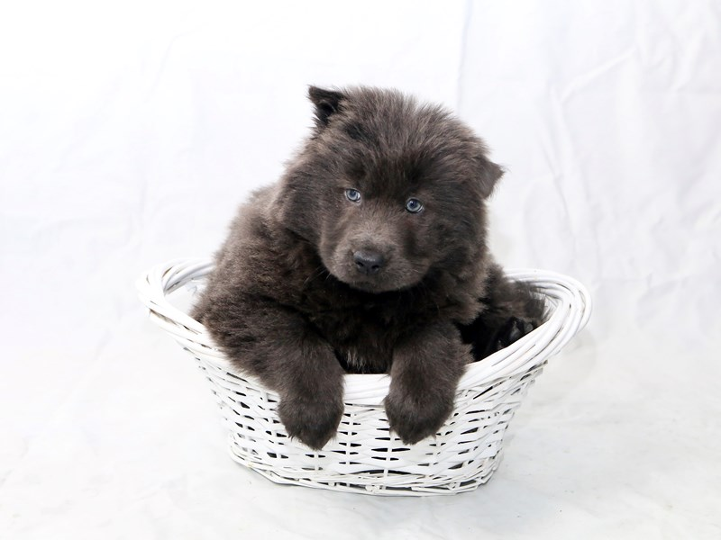 Chow Chow – Penny