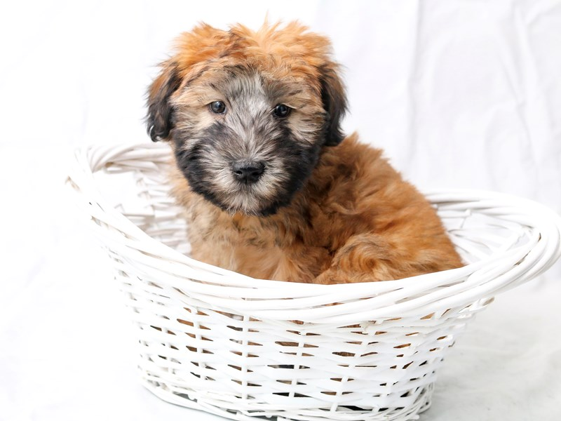 Soft Coated Wheaten Terrier-Female-Wheaten-2526687-My Next Puppy
