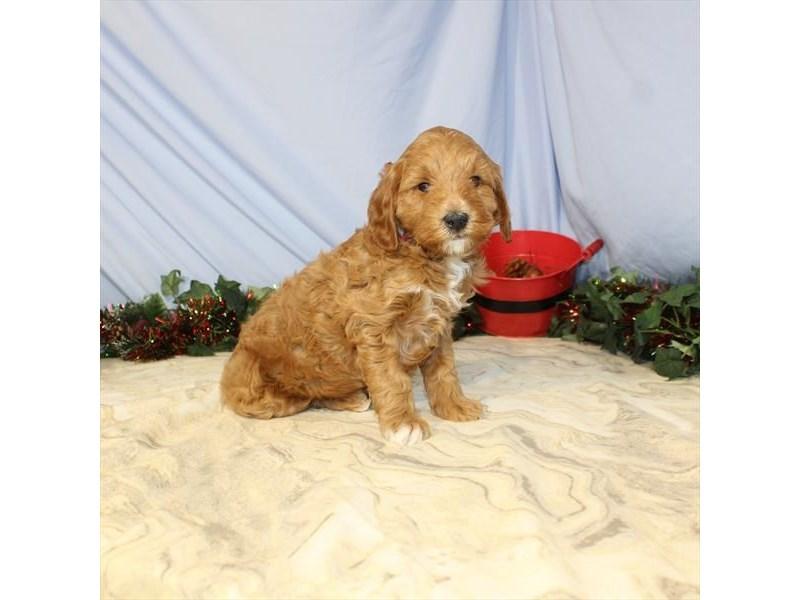 2nd Generation Mini Goldendoodle – Luke