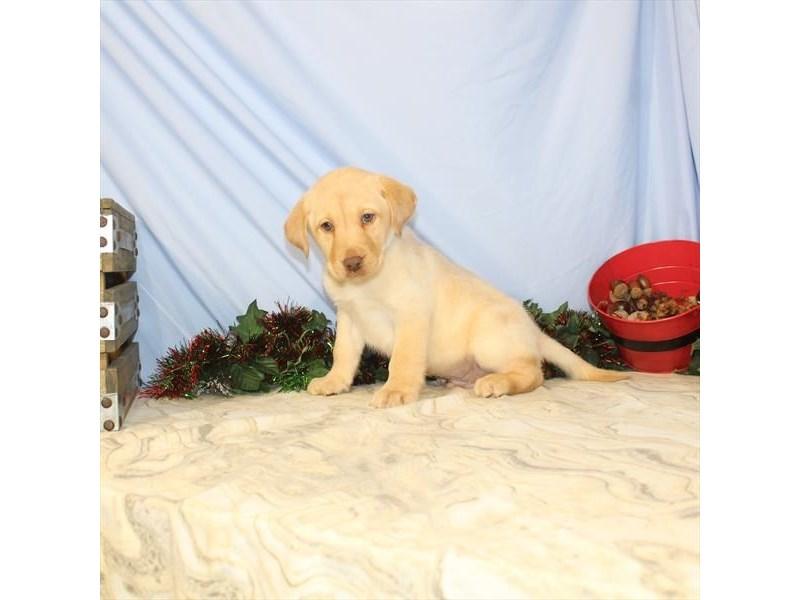 Labrador Retriever – Gizmo