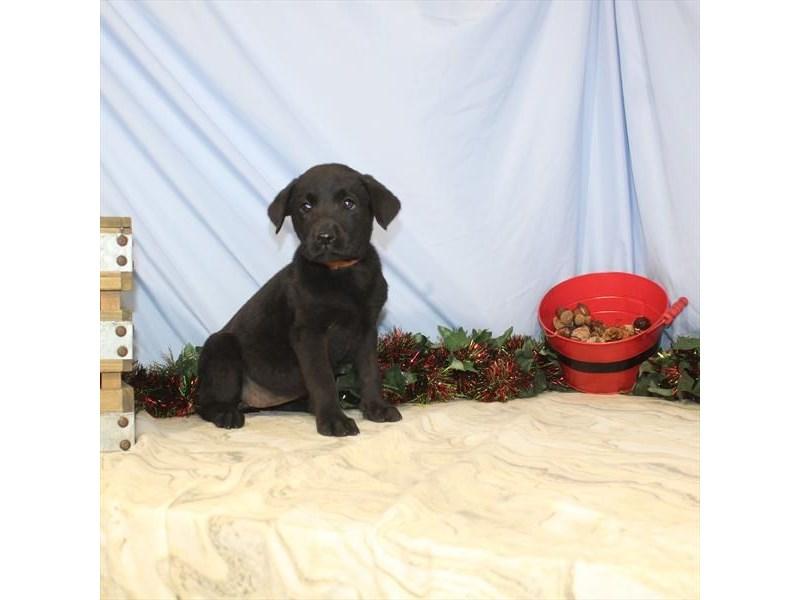 Labrador Retriever – Noel