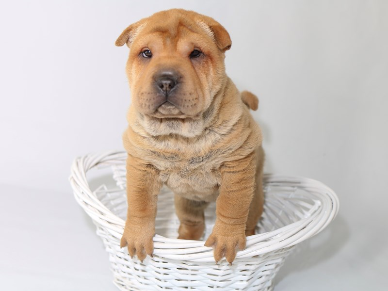 Chinese Shar-Pei-Female-Fawn-2533152-My Next Puppy