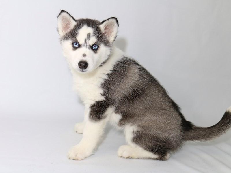 Siberian Husky – Khione