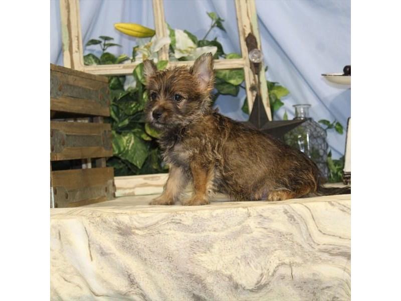 Cairn Terrier – Cosmo