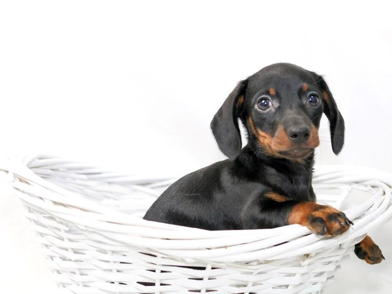 Miniature Dachshund – Rocco