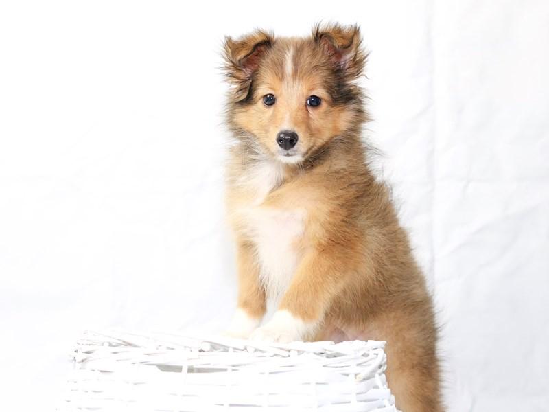Shetland Sheepdog – Jasmine