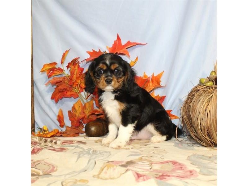 Cavalier King Charles Spaniel-Male-Black White / Tan-2519822-My Next Puppy