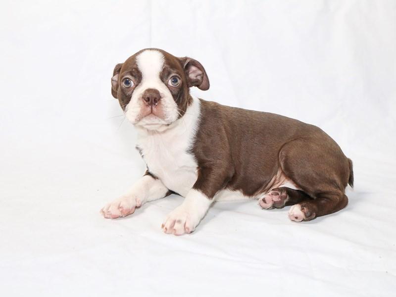 Boston Terrier – Louie
