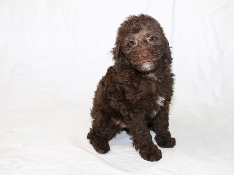 Miniature Goldendoodle-Male-Chocolate-2526435-My Next Puppy