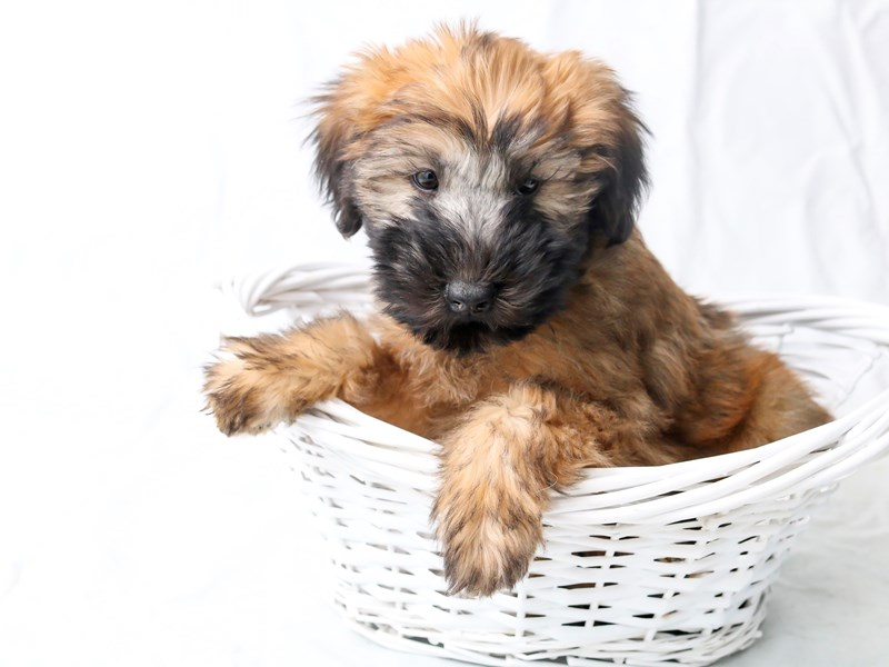 Soft Coated Wheaten Terrier-Male-Wheaten-2526686-My Next Puppy