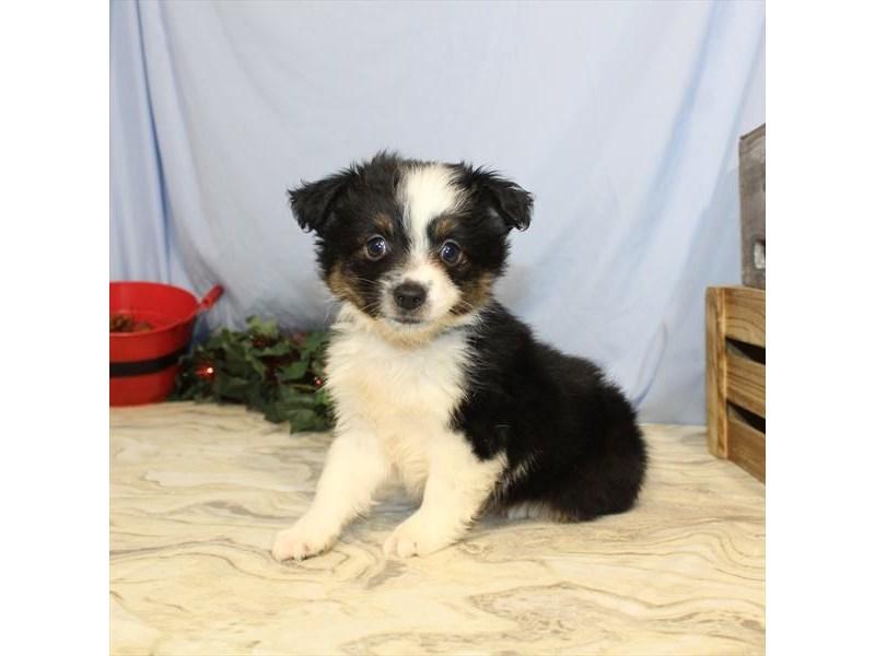 Australian Shepherd-Female-Black-2533164-My Next Puppy