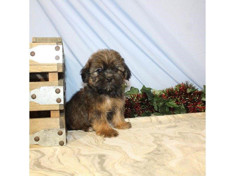 Shorkie-Male-Gold Sable-2533207-My Next Puppy
