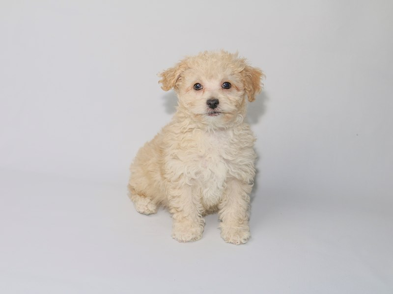Miniature Poodle-Male-Cream-2533200-My Next Puppy