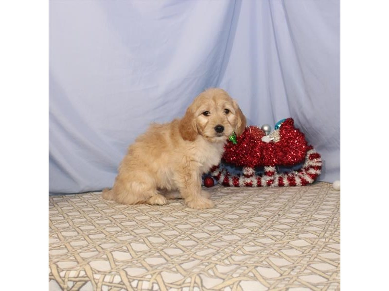 Golden Retriever/Toy Poodle – Heidi