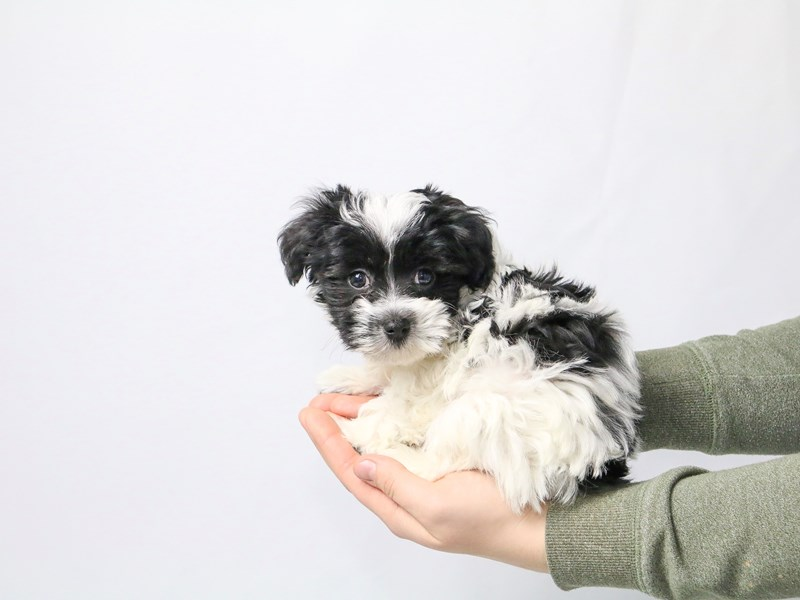 Havanese-Male-Black/White-2549700-My Next Puppy