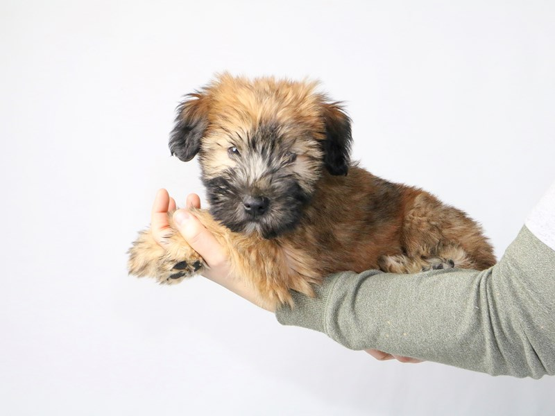 Soft Coated Wheaten Terrier-Male-Wheaten-2549712-My Next Puppy