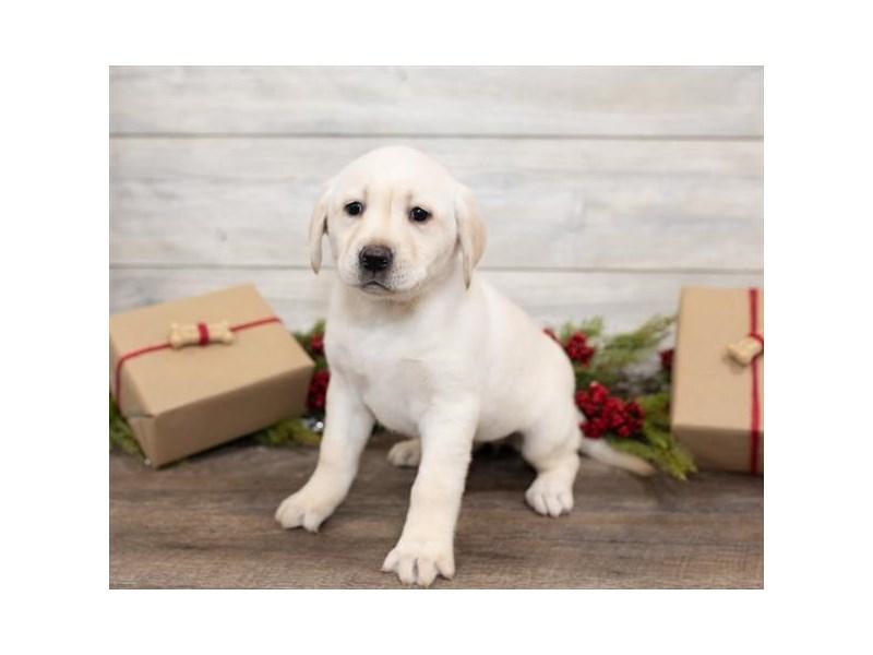 Labrador Retriever – Stella
