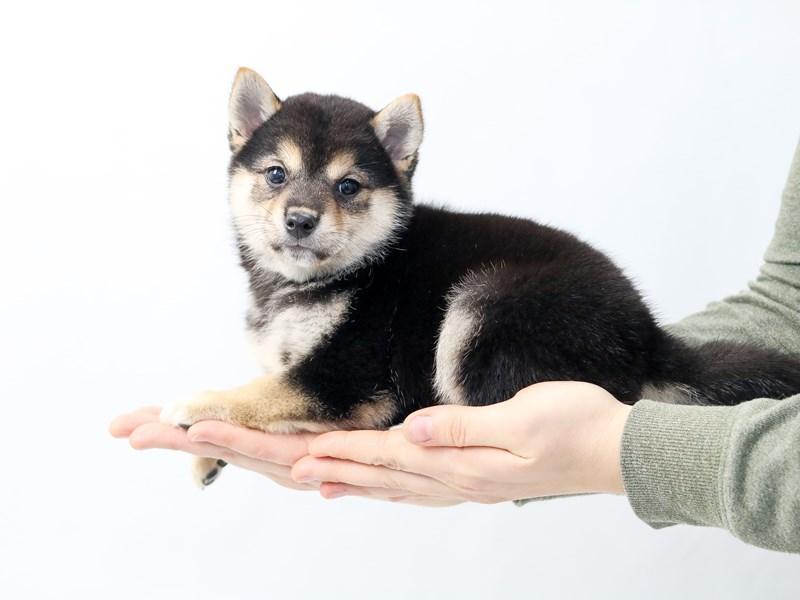 Shiba Inu-Female-Black / Tan-2562327-My Next Puppy