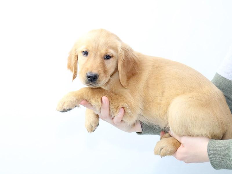 Golden Retriever-Female-Dark Golden-2562329-My Next Puppy