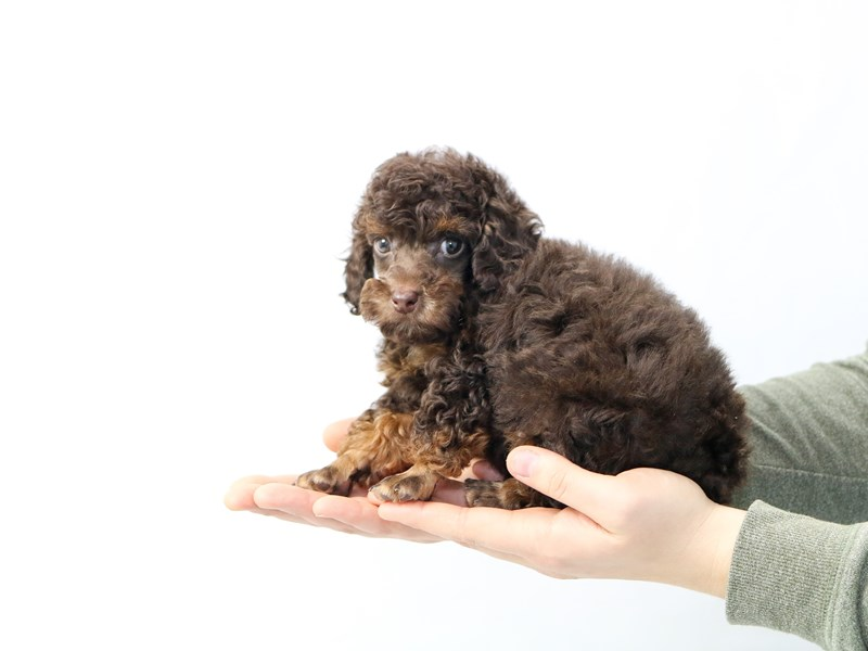 Toy Poodle-Male-Chocolate / Tan-2562331-My Next Puppy