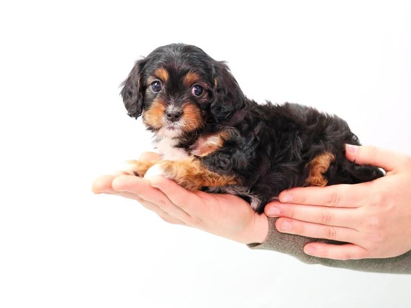 Toy Cavapoo-Female-Black / Tan-2562333-My Next Puppy