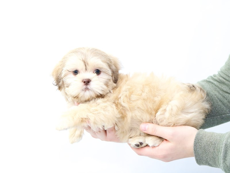 Shih Tzu-Female-Gold-2562336-My Next Puppy