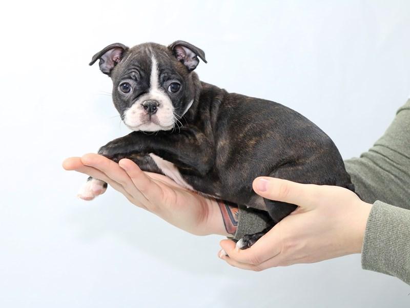 Boston Terrier-Female-Brindle-2562339-My Next Puppy