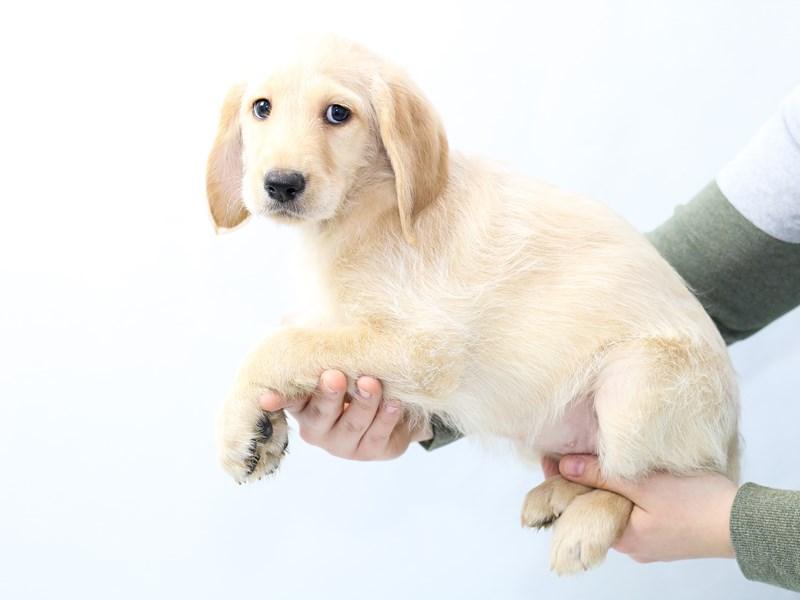 Medium Labradoodle-Female-Yellow-2562364-My Next Puppy