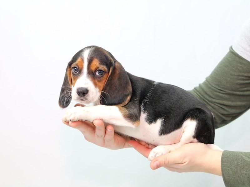 Beagle – Kit