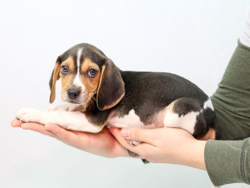 Beagle – Holly