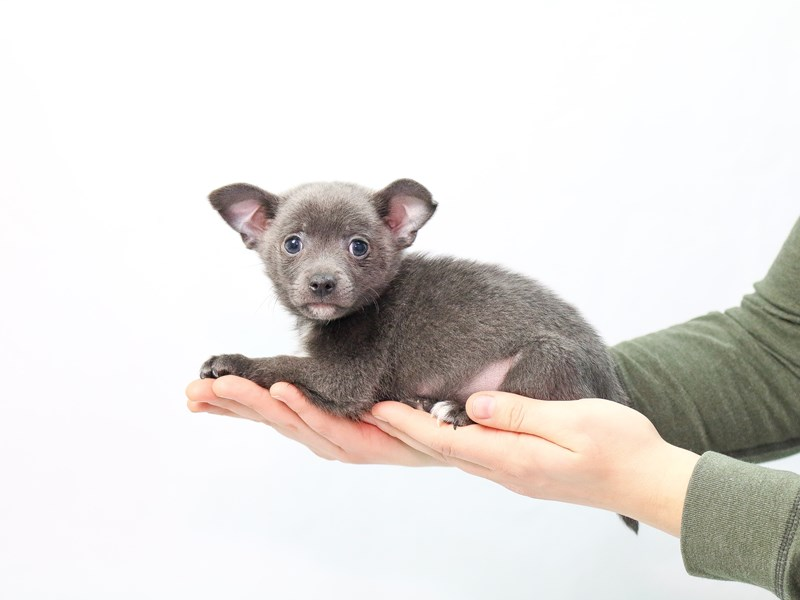 Chihuahua-Male-Blue-2563689-My Next Puppy