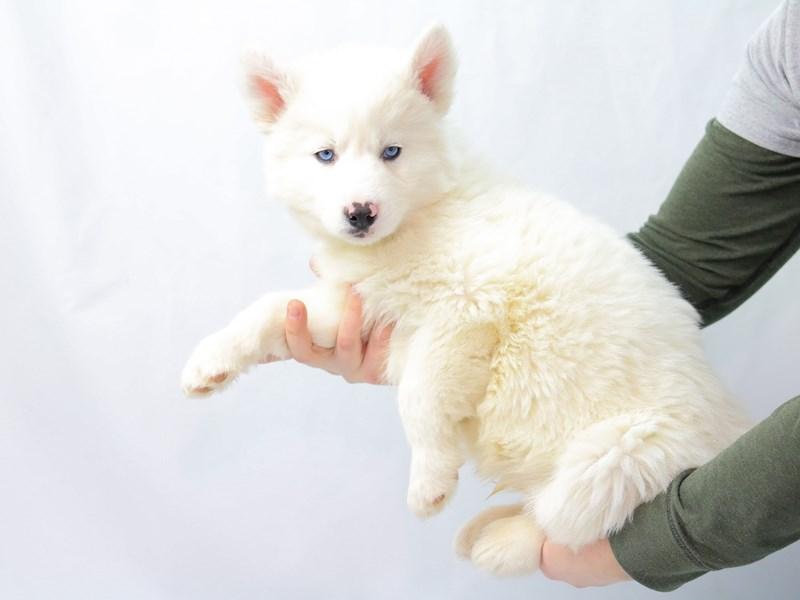 Siberian Husky – Loki