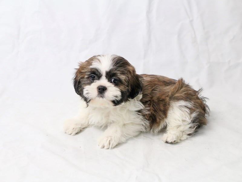 Shih Tzu-Female-Sable Parti-2526691-My Next Puppy