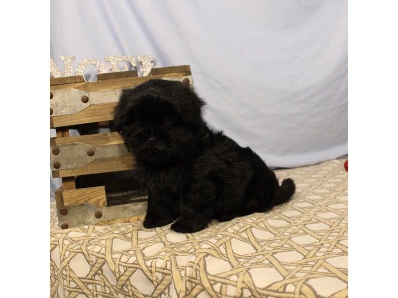 Maltese/Morkie-Male-Black-2549953-My Next Puppy