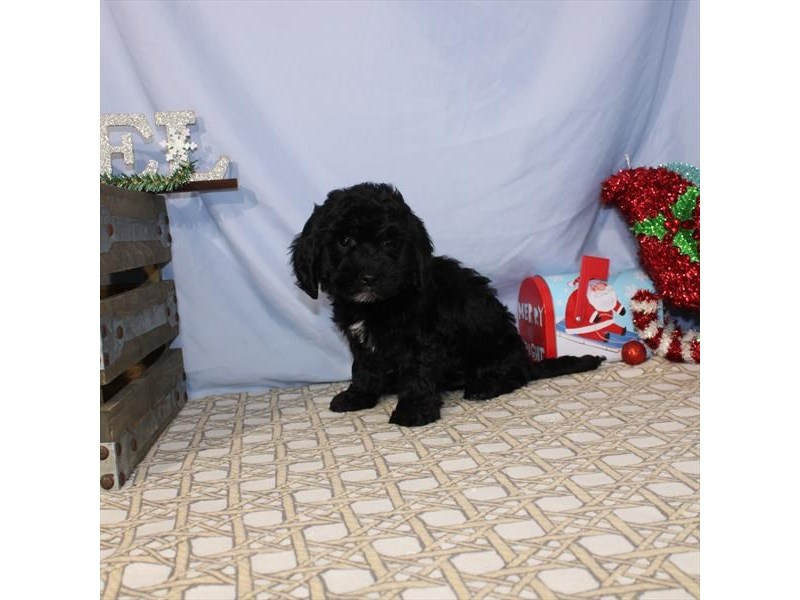 Golden Retriever/Toy Poodle-Male-Black-2550007-My Next Puppy