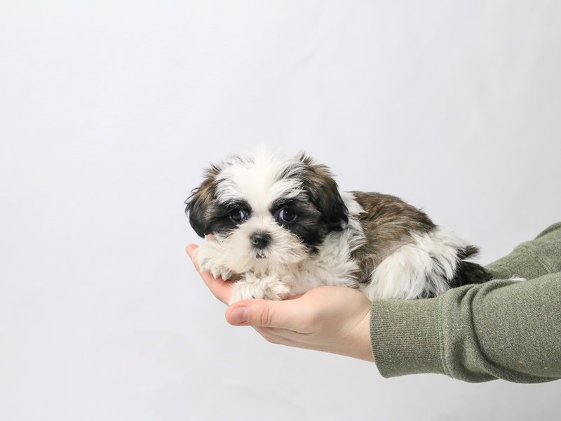 Shih Tzu-Female-Sable/White-2549706-My Next Puppy