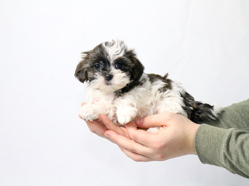 Shih Tzu-Female-Sable/White-2549707-My Next Puppy