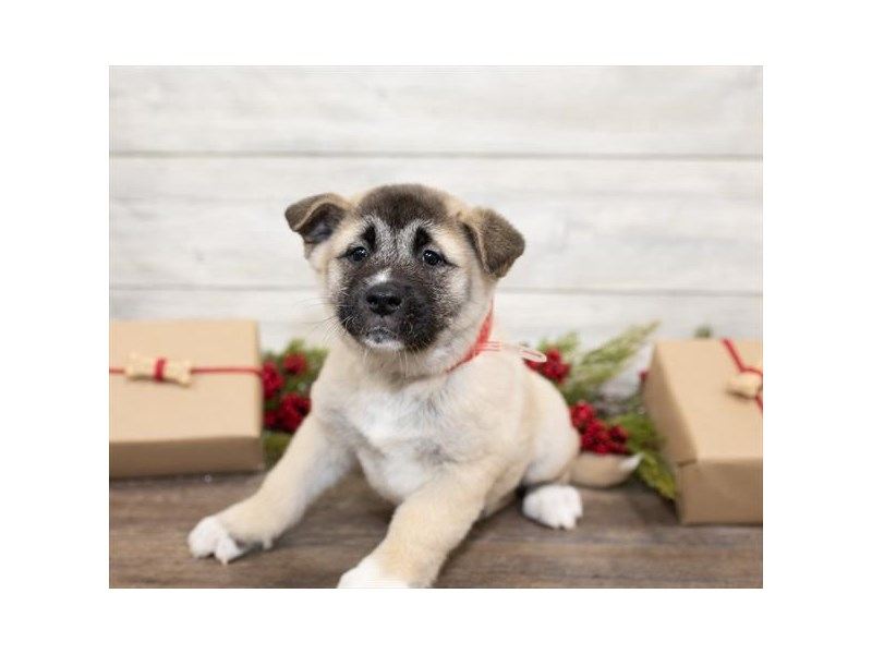Akita-Female-Fawn-2557602-My Next Puppy