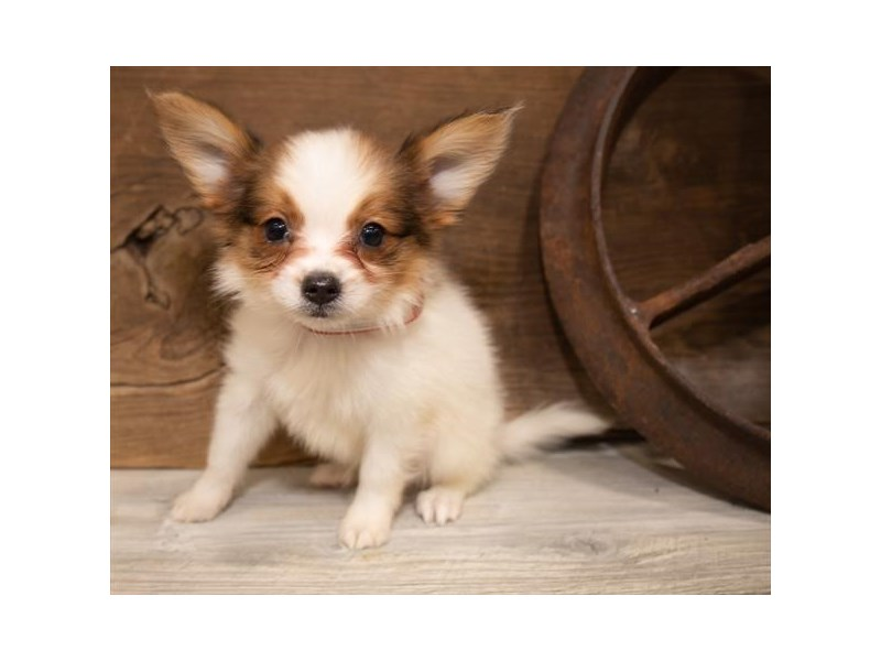 Papillon-Male-Red / White-2557603-My Next Puppy
