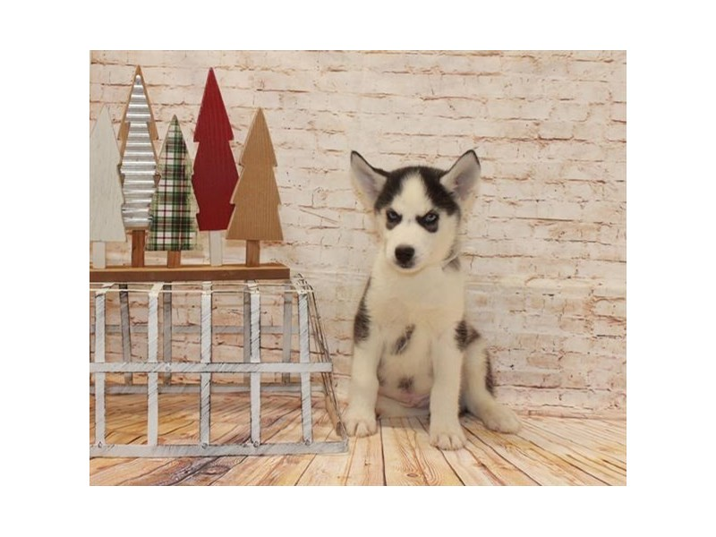 Siberian Husky-Female-Black / White-2557604-My Next Puppy