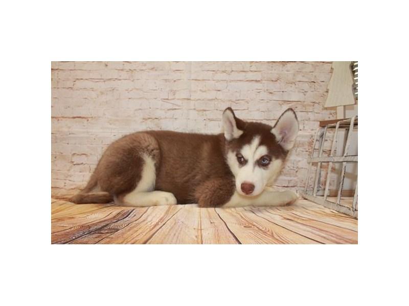 Siberian Husky-Male-Red / White-2557606-My Next Puppy