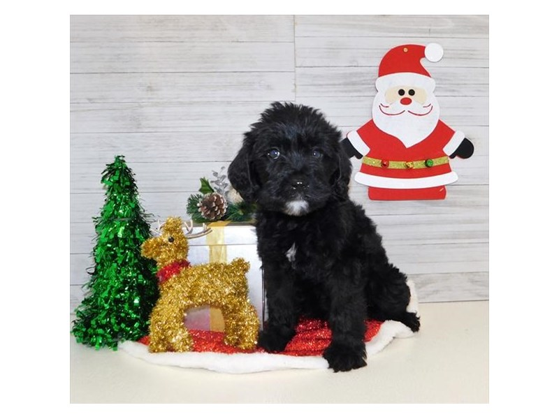 Labradoodle-Female-Black-2557654-My Next Puppy